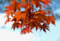 Japanese Maple. Blooming in the garden Stock Image
