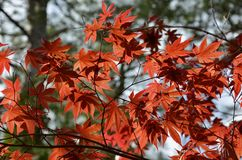 Japanese Maple. Blooming in the garden Royalty Free Stock Photography