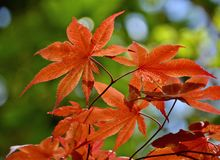 Japanese Maple. Blooming in the garden Royalty Free Stock Images