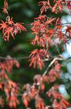 Japanese Maple. Blooming in spring time Stock Images