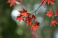Japanese Maple. Blooming in spring time Stock Image
