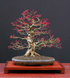 Japanese maple bonsai Royalty Free Stock Images