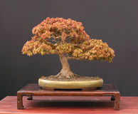 Japanese maple bonsai Stock Photo