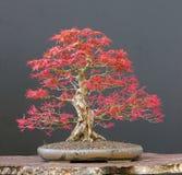 Japanese maple bonsai Royalty Free Stock Image
