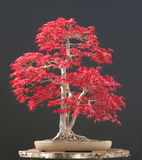Japanese maple bonsai Stock Image