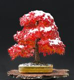 Japanese maple bonsai royalty free stock image