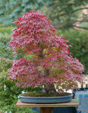 Japanese maple bonsai in fall Royalty Free Stock Images
