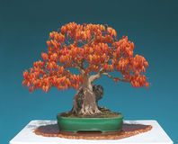 Japanese maple bonsai on rock Stock Photos