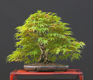 Japanese maple bonsai in summe royalty free stock images