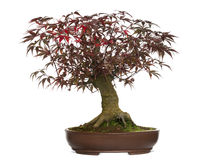 Japanese Maple bonsai tree, Acer palmatum, isolated Royalty Free Stock Photo