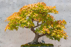 Japanese maple Bonsai Tree Stock Photo
