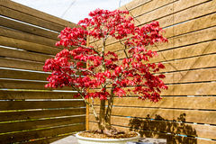 Japanese maple bonsai tree in sunny day in botanic garden royalty free stock images