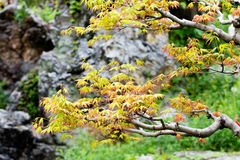 Japanese Maple Branch Royalty Free Stock Images