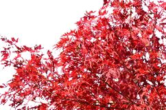 Japanese maple canopy with red leaves isolated. Autumn colors. stock images
