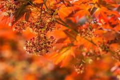 Japanese Maple Stock Photo