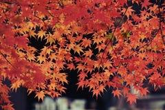 Japanese Maple closeup royalty free stock photography