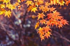 Japanese Maple closeup Royalty Free Stock Photos