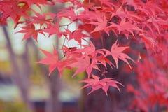 Japanese Maple closeup Royalty Free Stock Photo