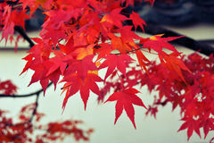 Japanese Maple closeup Royalty Free Stock Images
