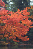 Japanese maple colored leaves Stock Image