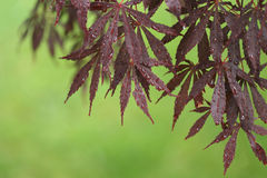 Japanese Maple Corner, Green Background Stock Photo