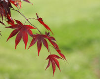 Japanese Maple Detail Royalty Free Stock Images