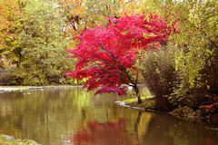 Japanese Maple in Fall. A Japanese Maple Tree on the shore of a quiet pond stock photography