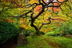 Japanese Maple. With fall colors and leaves in Portland Japanese garden stock image
