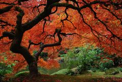 Japanese maple. With fire-red leaves and serpentine trunk and branches in the fall Royalty Free Stock Photography