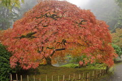 Japanese Maple on foggy day stock image