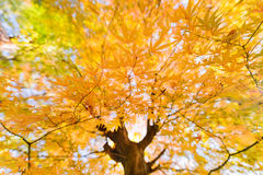 Japanese Maple foliage Stock Images