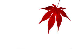 Japanese Maple Leaf. Red Japanese maple leaf against a white background Stock Photography
