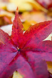 Japanese Maple Leaf. Close up of a fallen red Japanese maple leaf Royalty Free Stock Photos