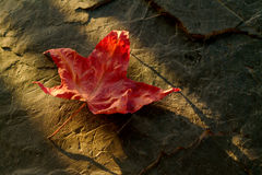 Japanese Maple Leaf. A sure sign of autumn is the changing of the Japanese Maple leaves Royalty Free Stock Photos