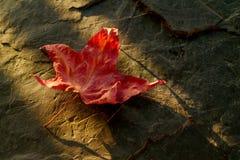 Japanese Maple Leaf Royalty Free Stock Photos