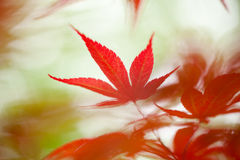 Free Japanese Maple Leaf Stock Image - 30691571