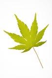 Japanese maple leaf. A coral bark japanese maple leaf-Sango kaku (Acer palmatum Royalty Free Stock Images