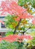 Japanese maple leaf Royalty Free Stock Images
