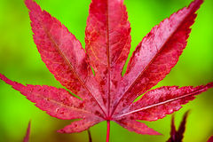 Japanese maple leaf Stock Photography