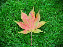 Japanese Maple Leaf Stock Photo