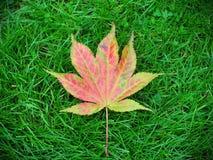 Japanese Maple Leaf. Fallen Autumnal Japanese Maple Leaf (Acer palmatum) on a Grass Lawn Stock Photo
