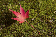 Japanese maple leaf. Fell on ground Stock Image