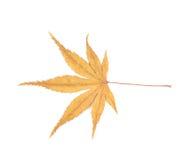 Free Japanese Maple Leaf Isolated Stock Photo - 92017220
