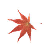 Japanese maple leaf isolated Stock Photo