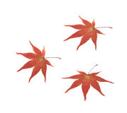 Japanese maple leaf isolated Stock Image