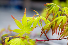 Japanese Maple Leaf in Spring Royalty Free Stock Image