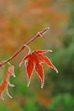 Japanese maple leaf. Leaf of japanese maple tree covered with frost Royalty Free Stock Image