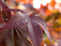 Japanese maple leaf turning. Japanese maple leaf with fall background Stock Images