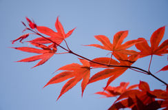 Japanese maple leafs royalty free stock photo