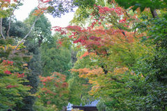 Japanese maple leave in autumn season at Kyoto Stock Images